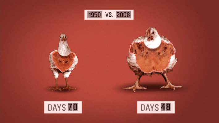 For instance, chickens are now given so many growth hormones to rapidly increase their size that many of them break legs, collapsing under their own weight. (best food documentary)